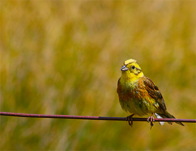yellowhammer_lindis_pass